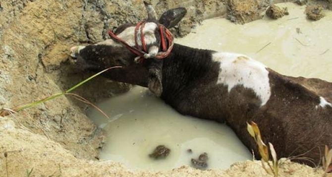 Корова хотела напиться, но спасатели ее спасли