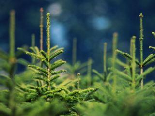 Луганчанам рассказали, как отличить легальную елку от браконьерской